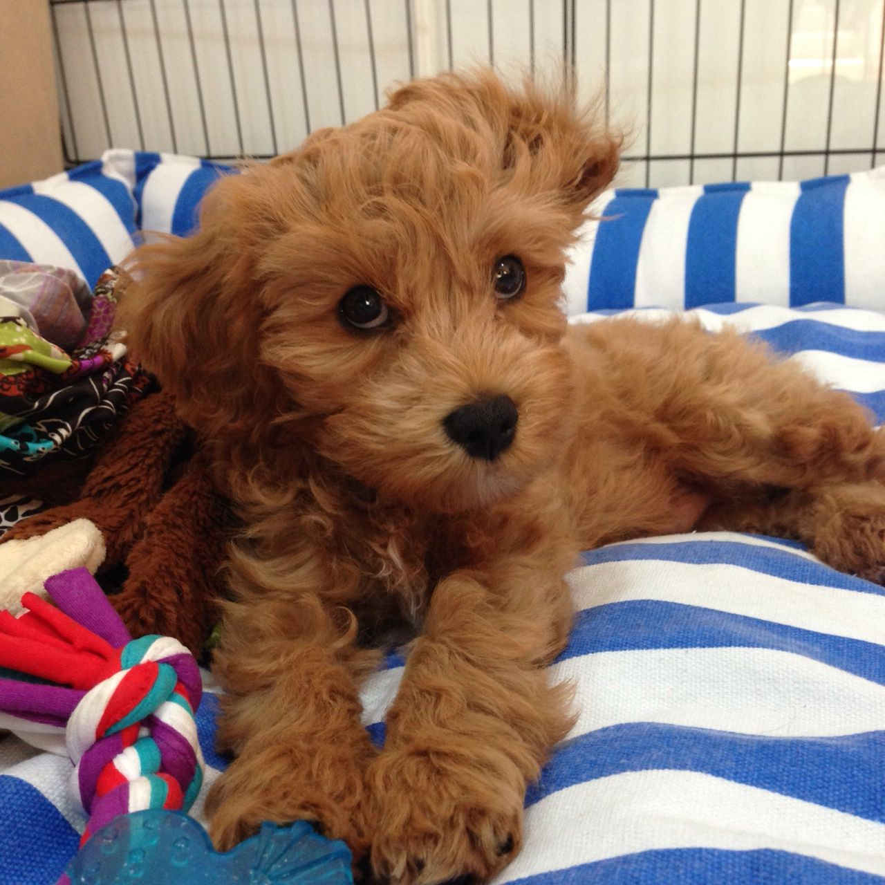 My 2nd Generation Cavoodle Puppy Cavapoo Puppies Dogs