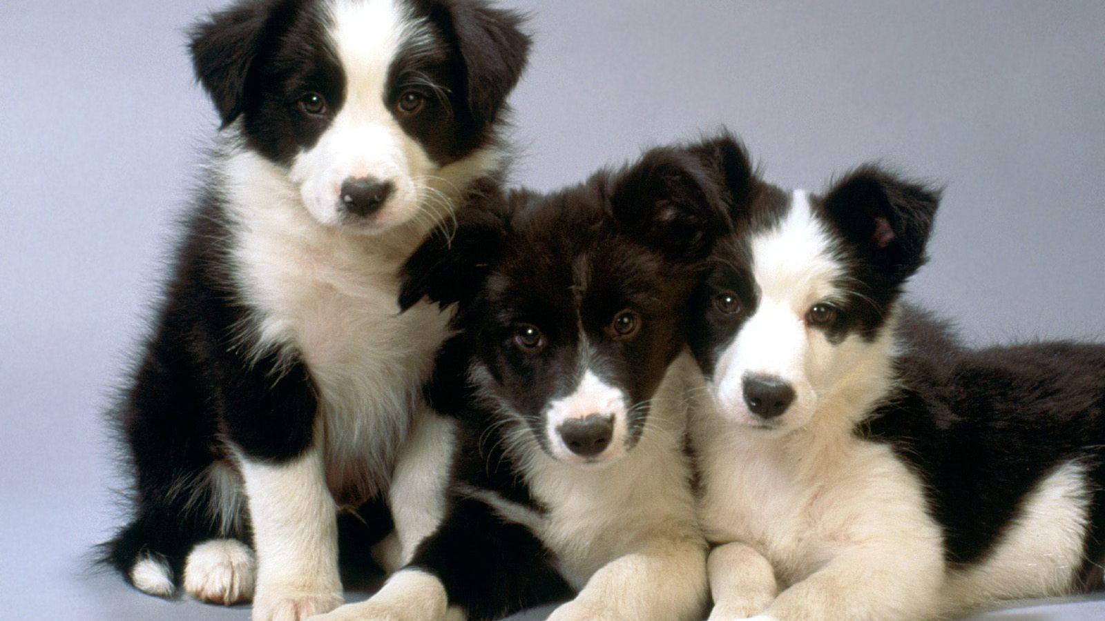 Border-collie babies! | Border collie puppies, Collie ...