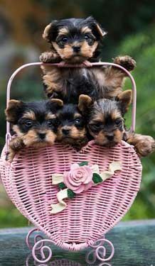 Dogs And Puppies Tips For Finding A Great Pup And Keeping Him Happy More Info Could Be Found At The Image U Yorkie Puppy Yorkshire Terrier Puppies Puppies