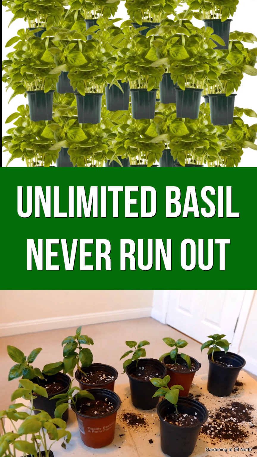 Grow Unlimited Basil At Home In 60 Days is part of Outdoor herb garden, Basil plant indoors, Indoor vegetable gardening, Container gardening vegetables, Planting herbs, Planting vegetables - In just 60 days you can turn 1 basil plant from the supermarket into 12! Keep the process going to make unlimited basil and have pesto every single day! Buy basil in a plant with roots