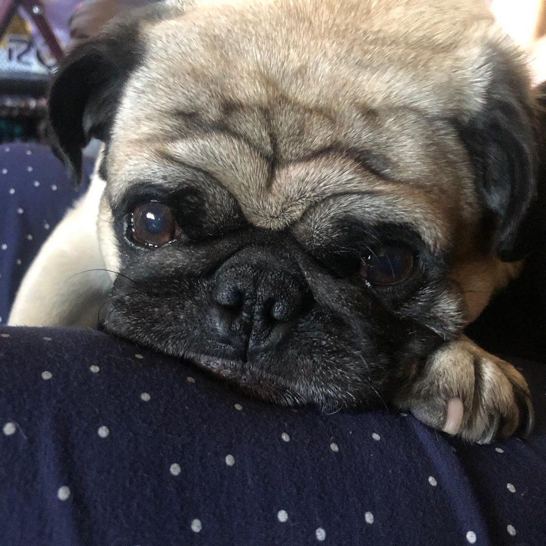 What Is Forex Pugs Tough Day French Bulldog