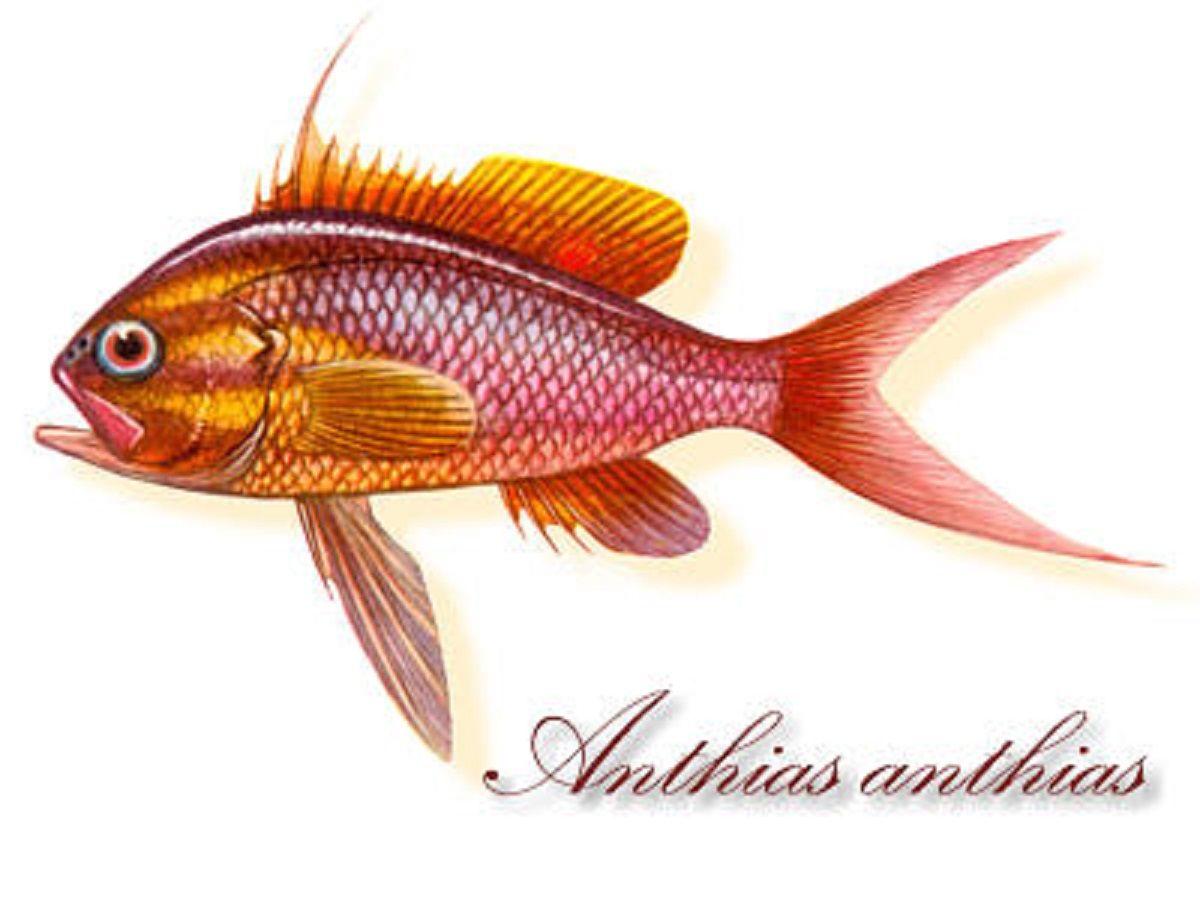 Art illustration - Oceans & Seas - Anthias: It is a genus of ...