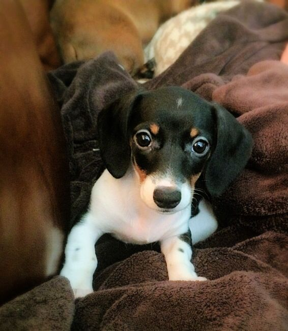 My Piebald Mini Dachshund Puppy Emma I Had To Pin Her Because