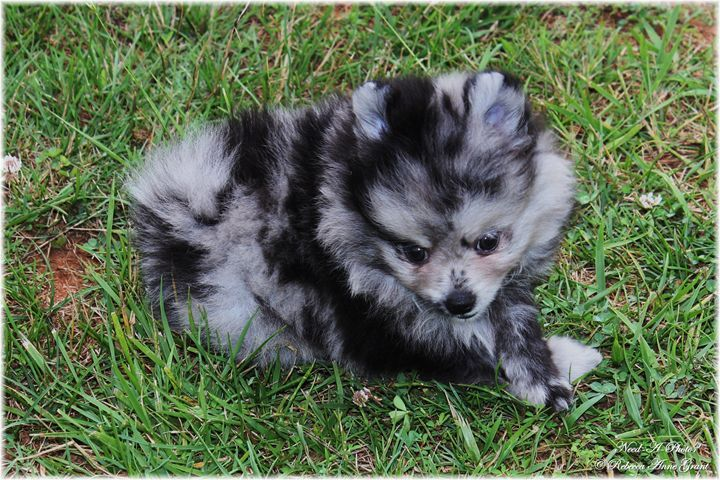 Blue Merle Pomeranian Puppy - Need-A-Photo? | Photography ...