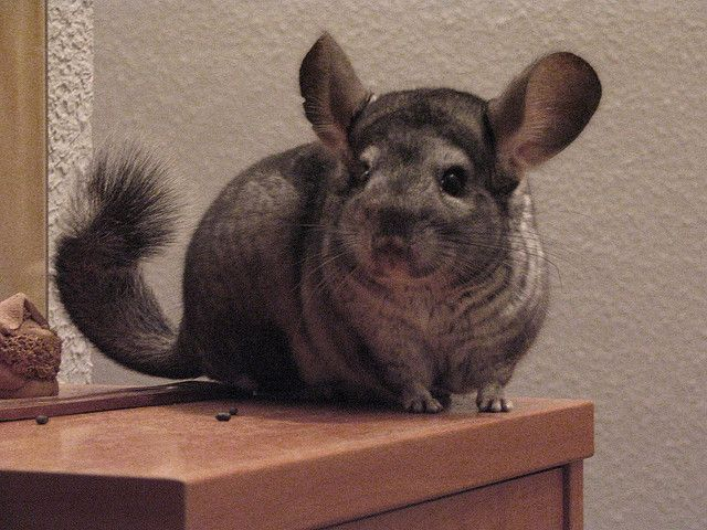 10 Small Animals That Can Make Great Pets Pets Animals Small Pets