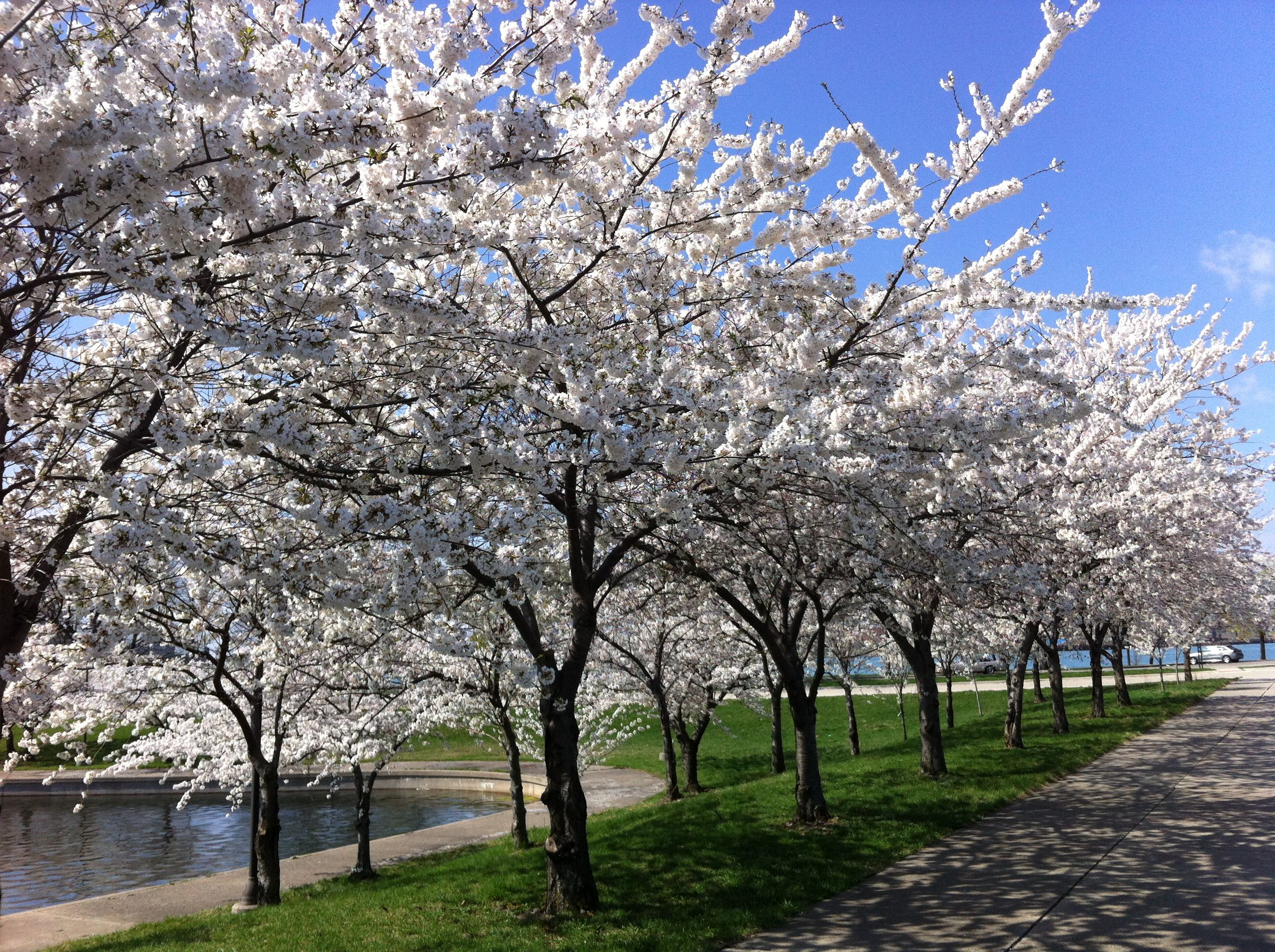 This Is Detroit Cherry Blossoms At Belle Isle Belle Isle Detroit Detroit City Pure Michigan