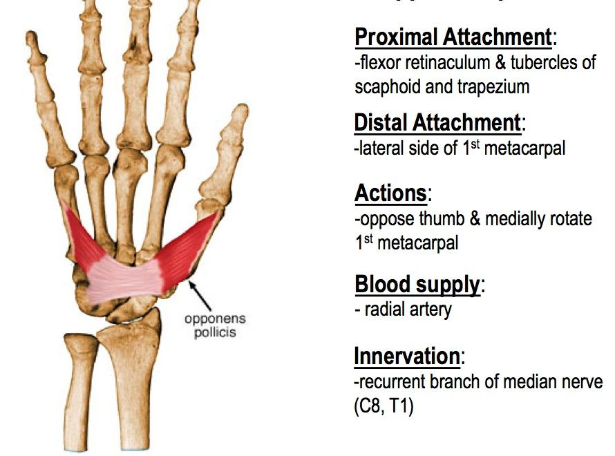 Opponens Pollicis ... | Muscles | Muscle