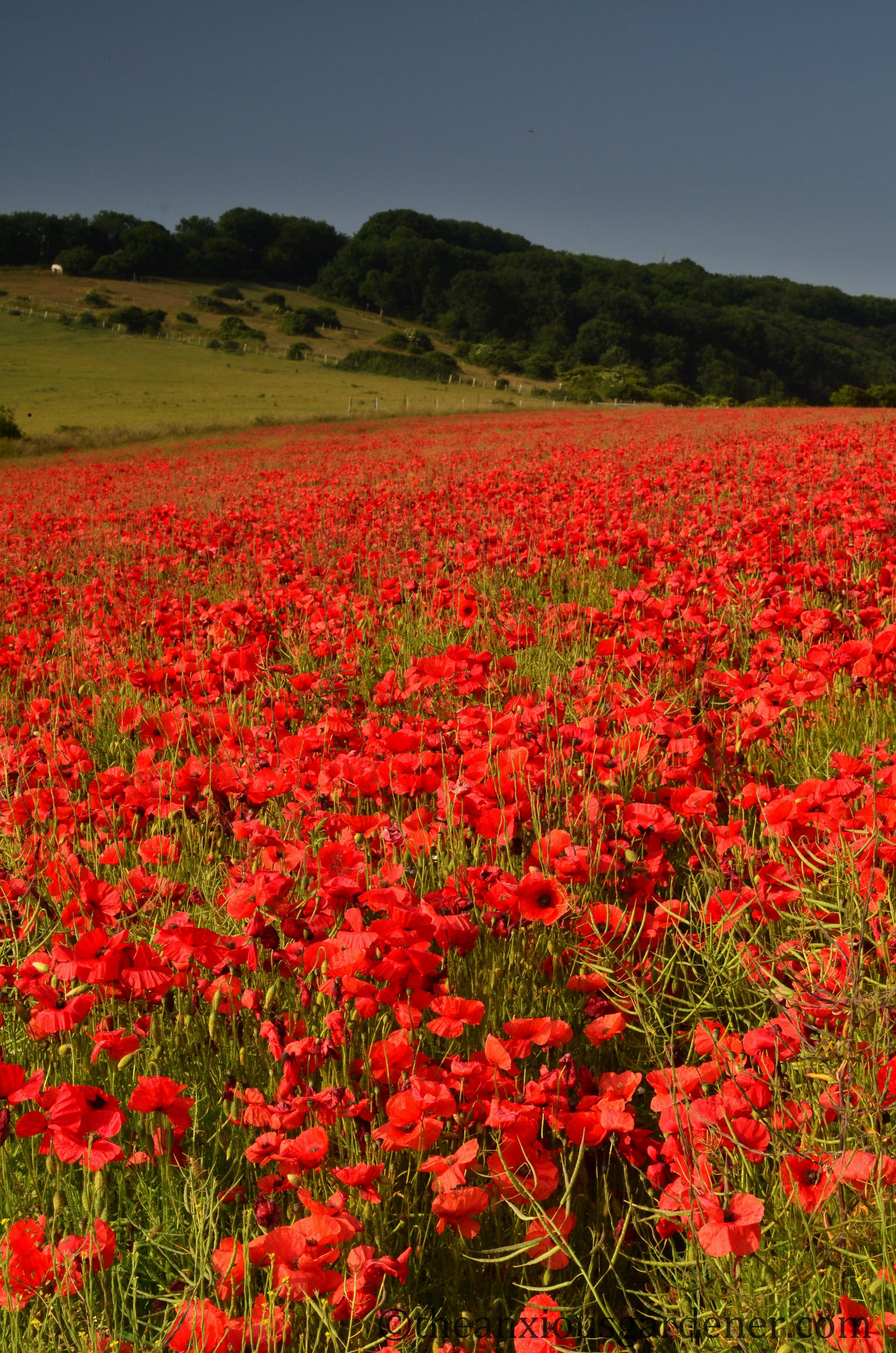 Poppies In The Uk Poppies One Of My Favorites Pinterest