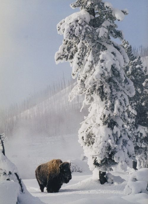 bison in snow | American bison, Winter pictures, Animals beautiful