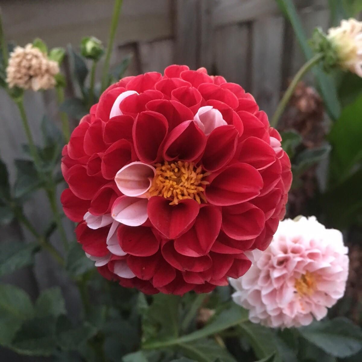 This Red And White Dahlia Clumsy Perfectionist Gardening Garden Diy Home Flowers Roses Nature Landscaping Hortic White Dahlias Flowers Red And White