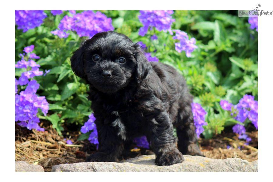 Winona Havapoo Havapoo Puppies Puppies For Sale Puppies