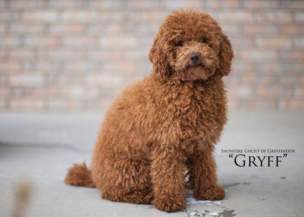 Red Toy Poodle Google Search Dog Miniature Goldendoodle