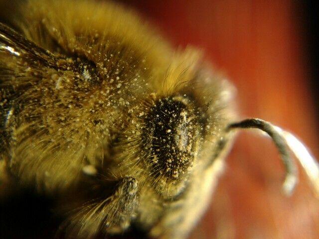 #abeja #bee