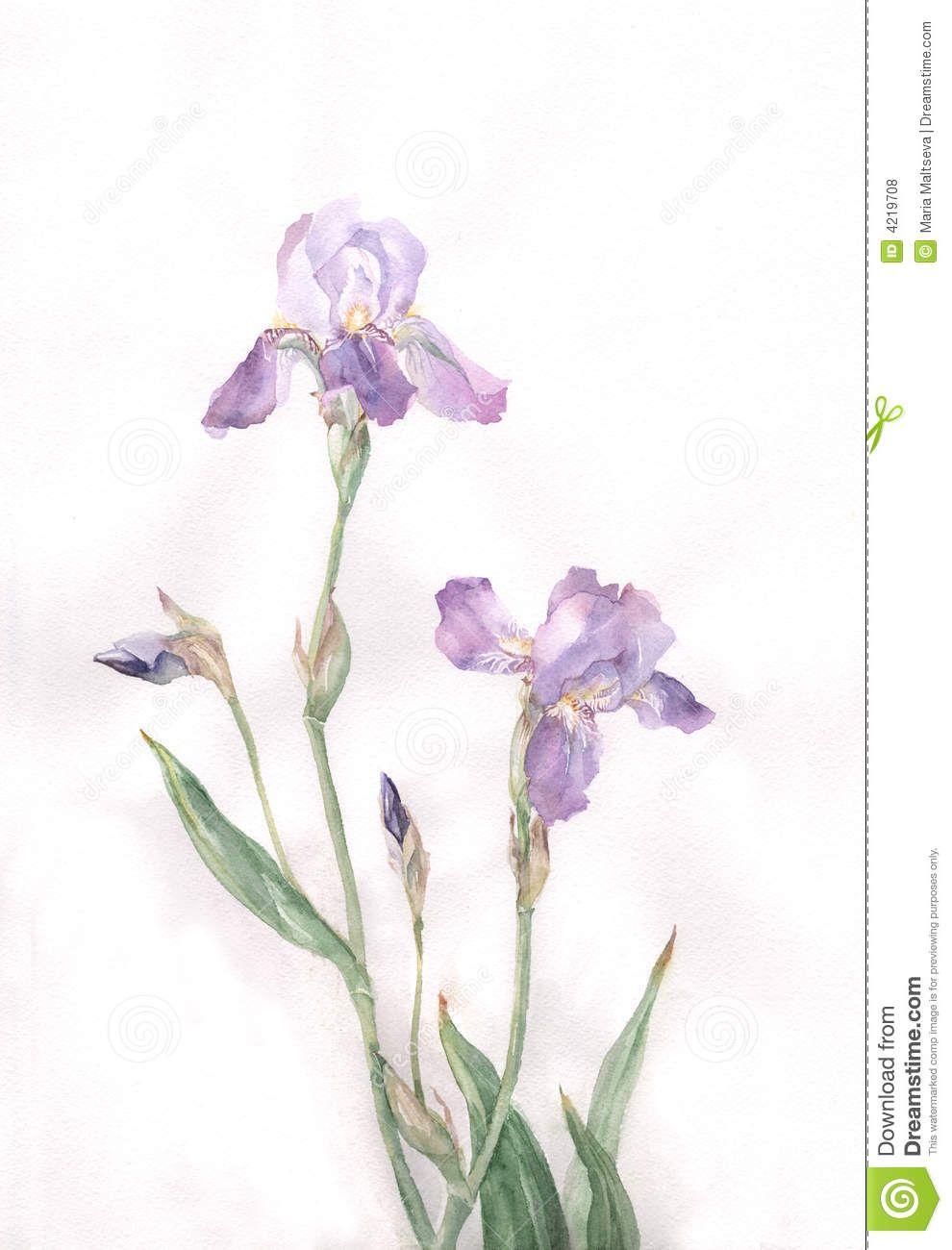 Watercolor Iris Paintings Royalty Free Stock Photos Iris Flowers