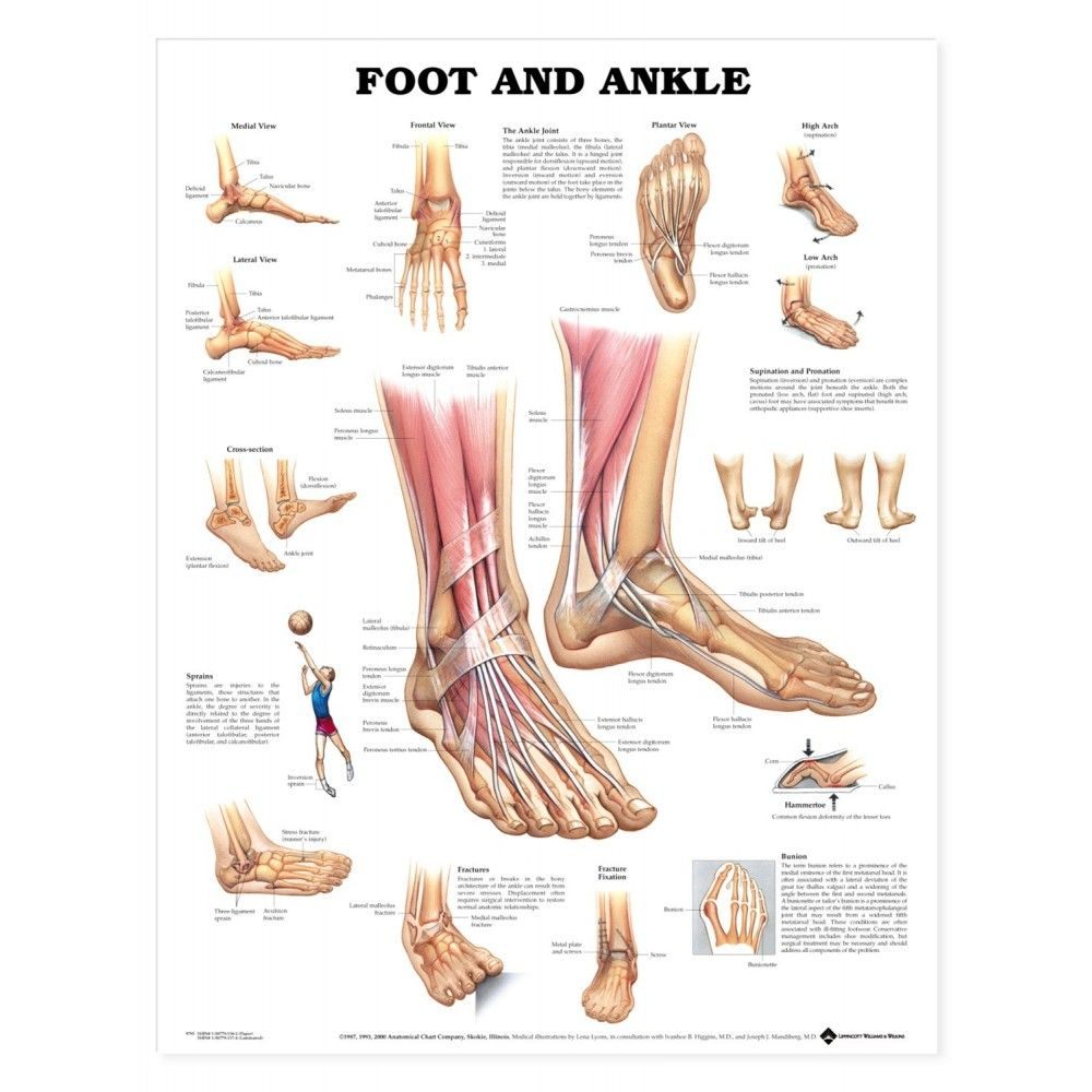 Foot and Ankle Anatomical Chart / Poster - Laminated
