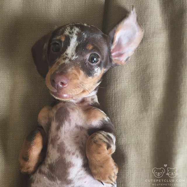 Our Little Mini Dapple Doxie Coco At 2 Months Old Such A Cutie
