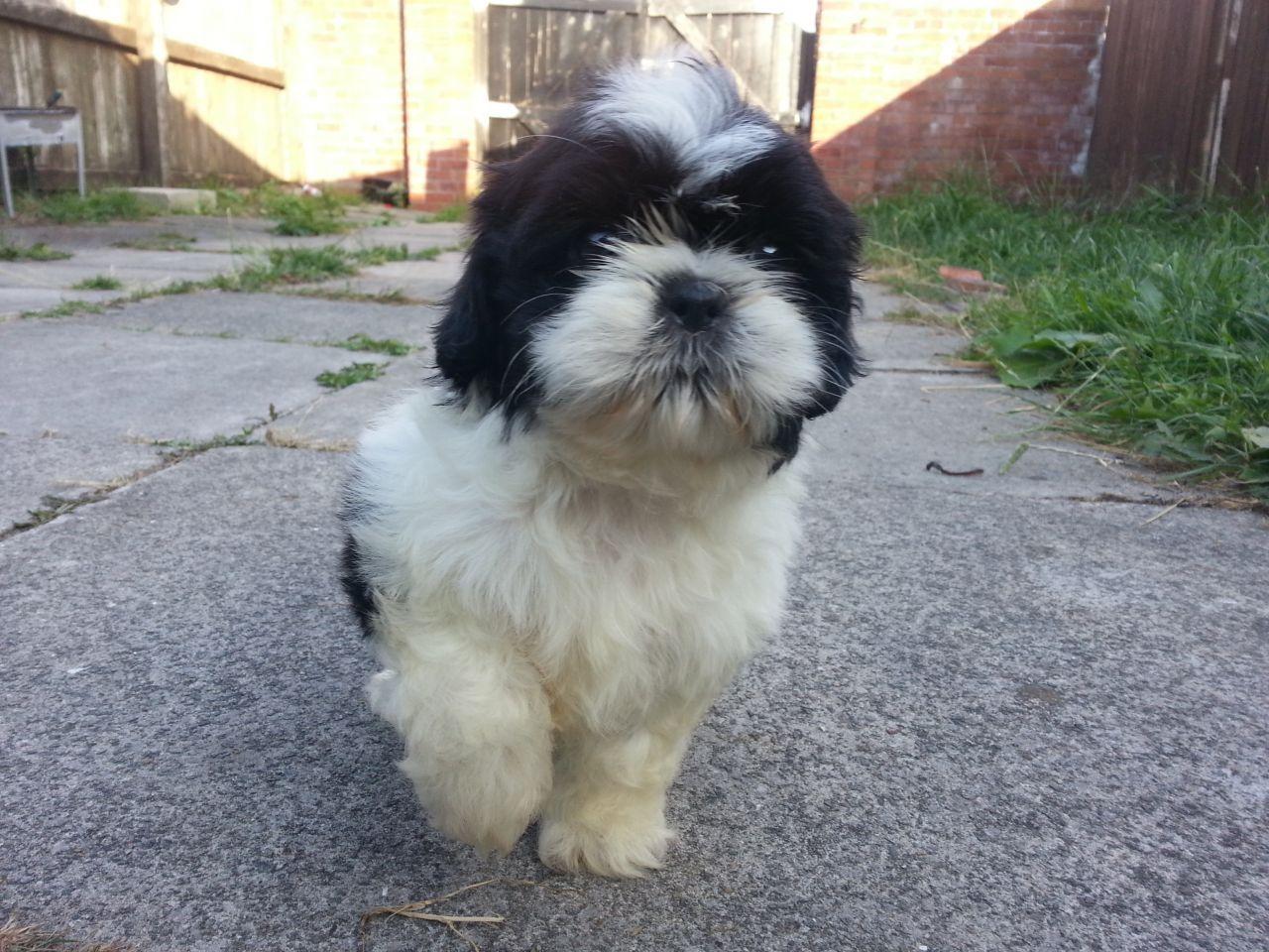 6 Shih Tzu Puppies With Images Shih Tzu Puppy Shih Tzu Puppies