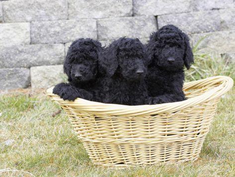 Black Standard Poodle Puppies 8 Weeks Old I M A Basket Case For