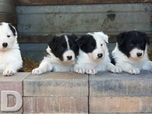 Dogs For Sale In Ireland Donedeal Ie Dogs For Sale Dogs