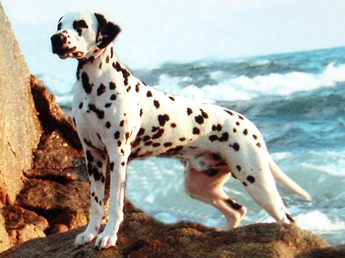 Best known as the star of Disneys 101 Dalmatians this sleek and