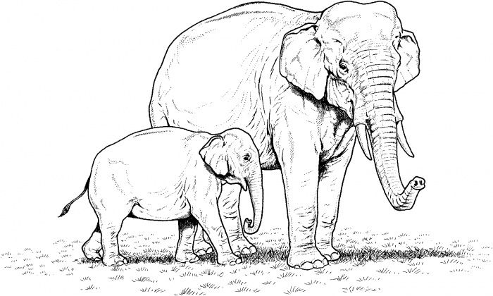Indian Elephant Baby And Mother Coloring Page Super Coloring Elephant Coloring Page Animal Coloring Pages Elephant Drawing