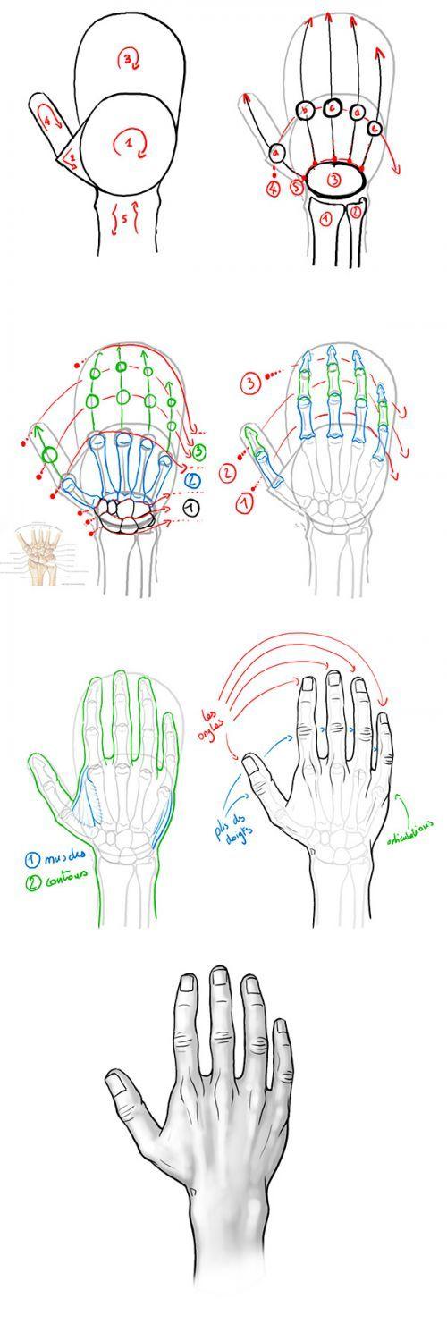 Tutoriel : dessiner la main en vue dorsale. anatomie de la main ...