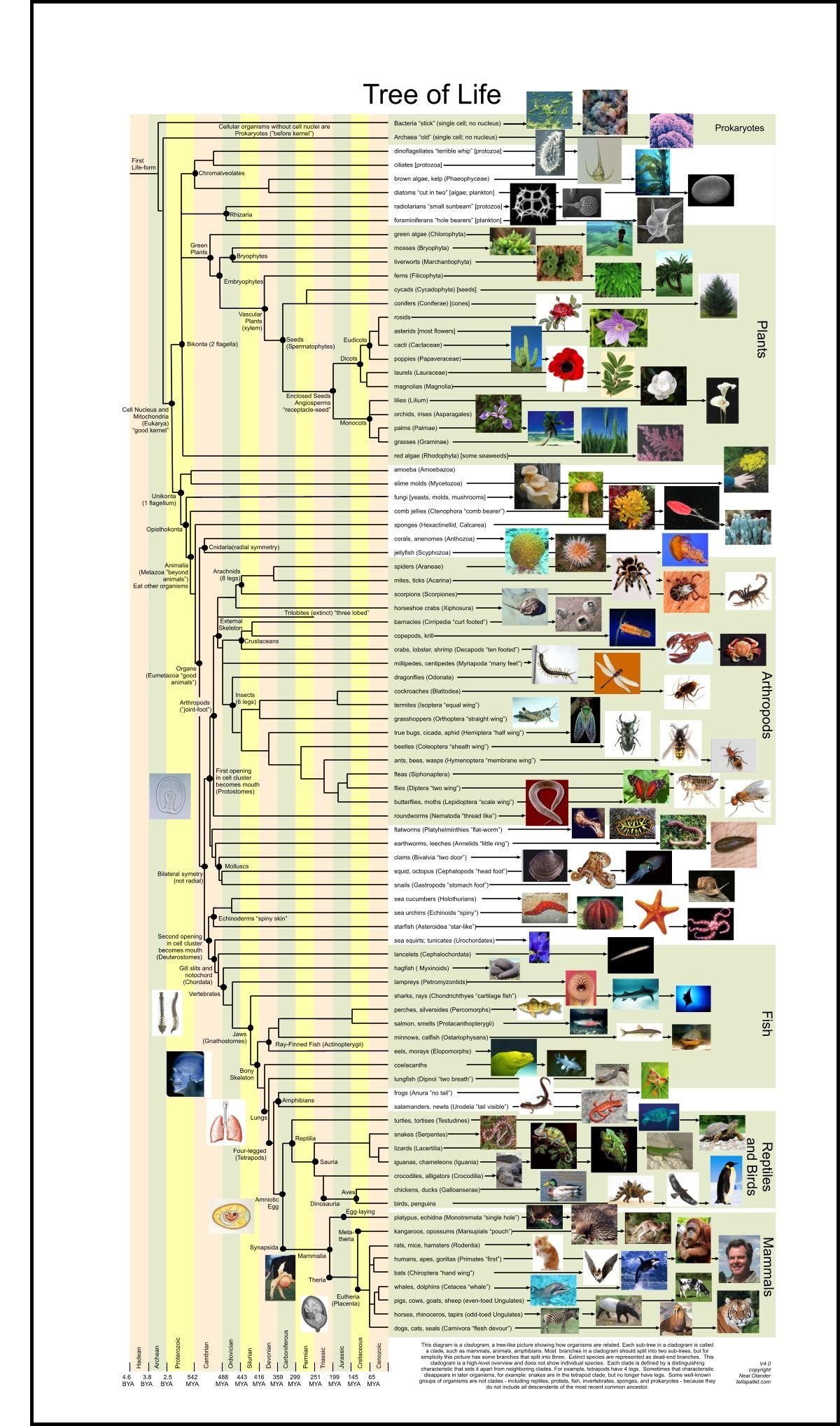 Tree Of Life Evolution Cladogram Cladistics Mammals Fish