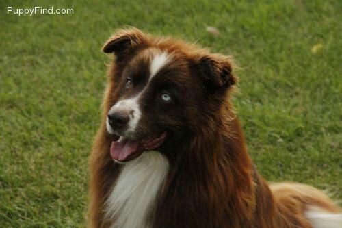 Red Bi Australian Shepherd With Tail Dog Rules Australian Shepherd Aussie Dogs
