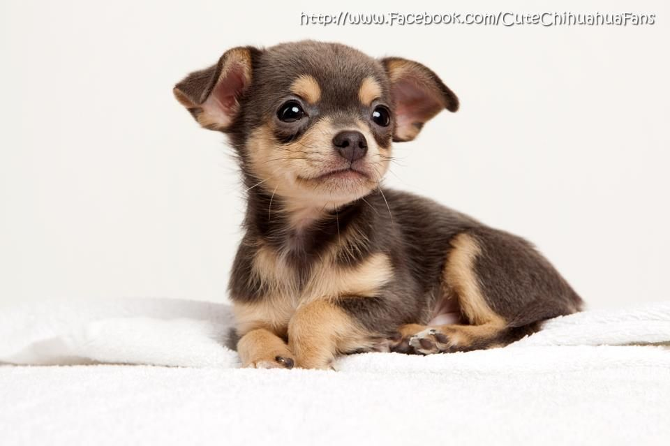 Omg Too Cute Cute Chocolate And Tan Cute Chihuahua Chihuahua
