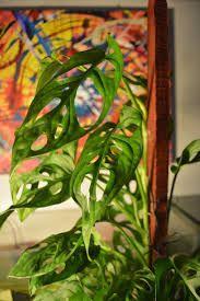 Resultado de imagen para Planta colgante con hojas con orificios
