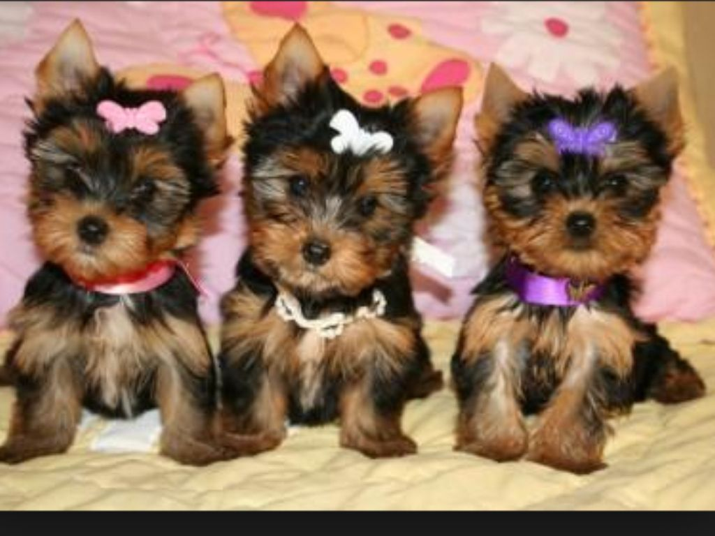 Yorkies Are Great Pets For A Small House Or Apartment Maybe This Can Be Good Idea If U R Looking The Perfect Dog