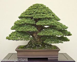 Bonsai Seeds Black Pine Seeds Best Bonsai Ever Rare 10 Seeds Free Gift Bonsai Tree Types Indoor Bonsai Tree Bonsai Tree