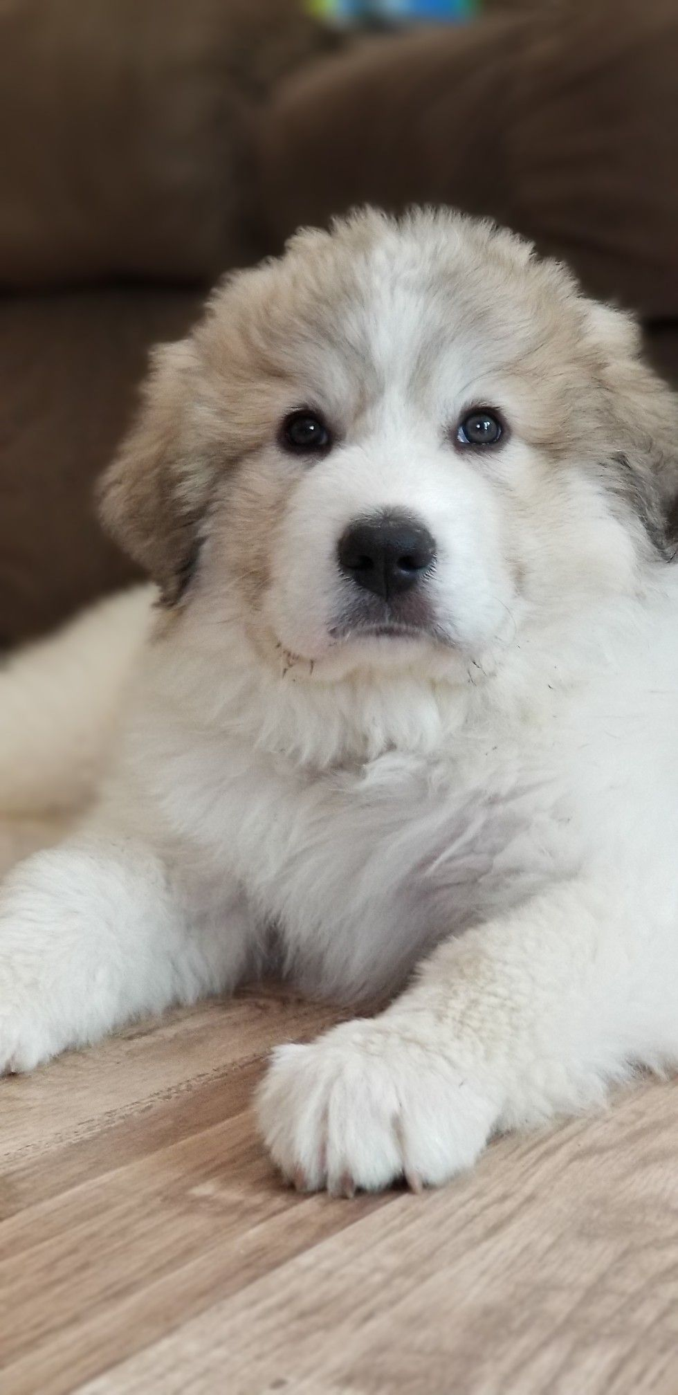 10 Week Old Stiles With Images Great Pyrenees Puppies Dogs