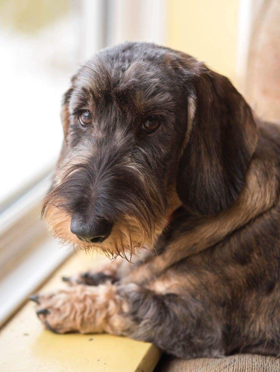 Wire Haired Doxie Looking Dignified Wire Haired Dachshund