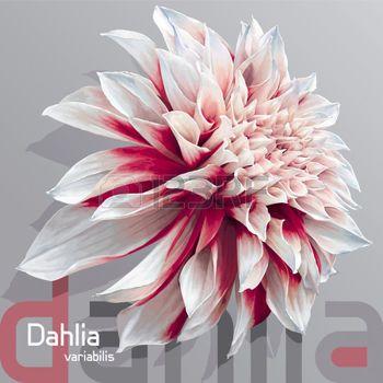dessin fleur: luxurious red-white garden dahlia flower (dahlia