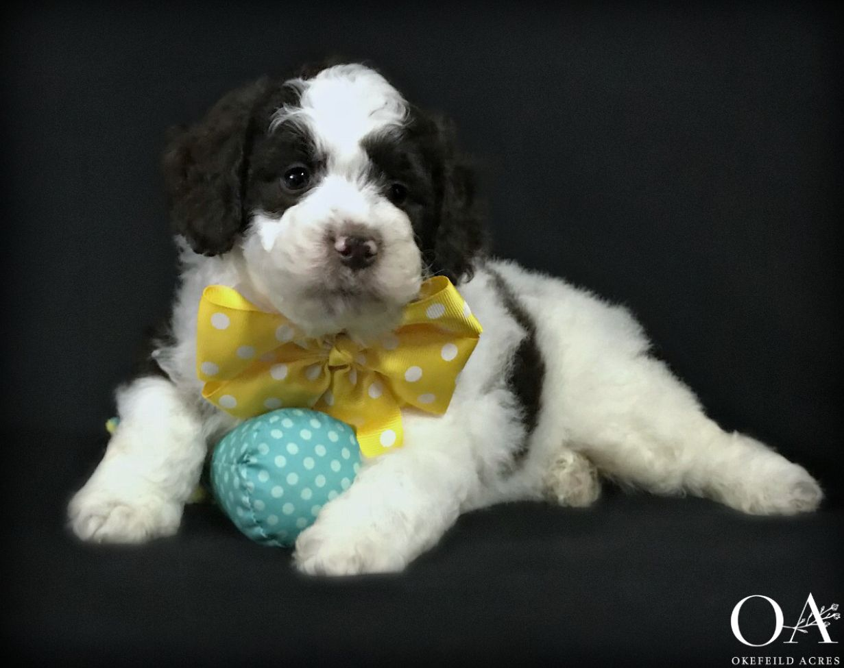Handsome little parti dude at puppies