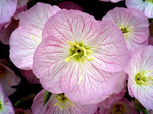Primroses Evening Primrose Flower Pictures Meanings Pink Evening Primrose Evening Primrose Flower Evening Primrose Flowers