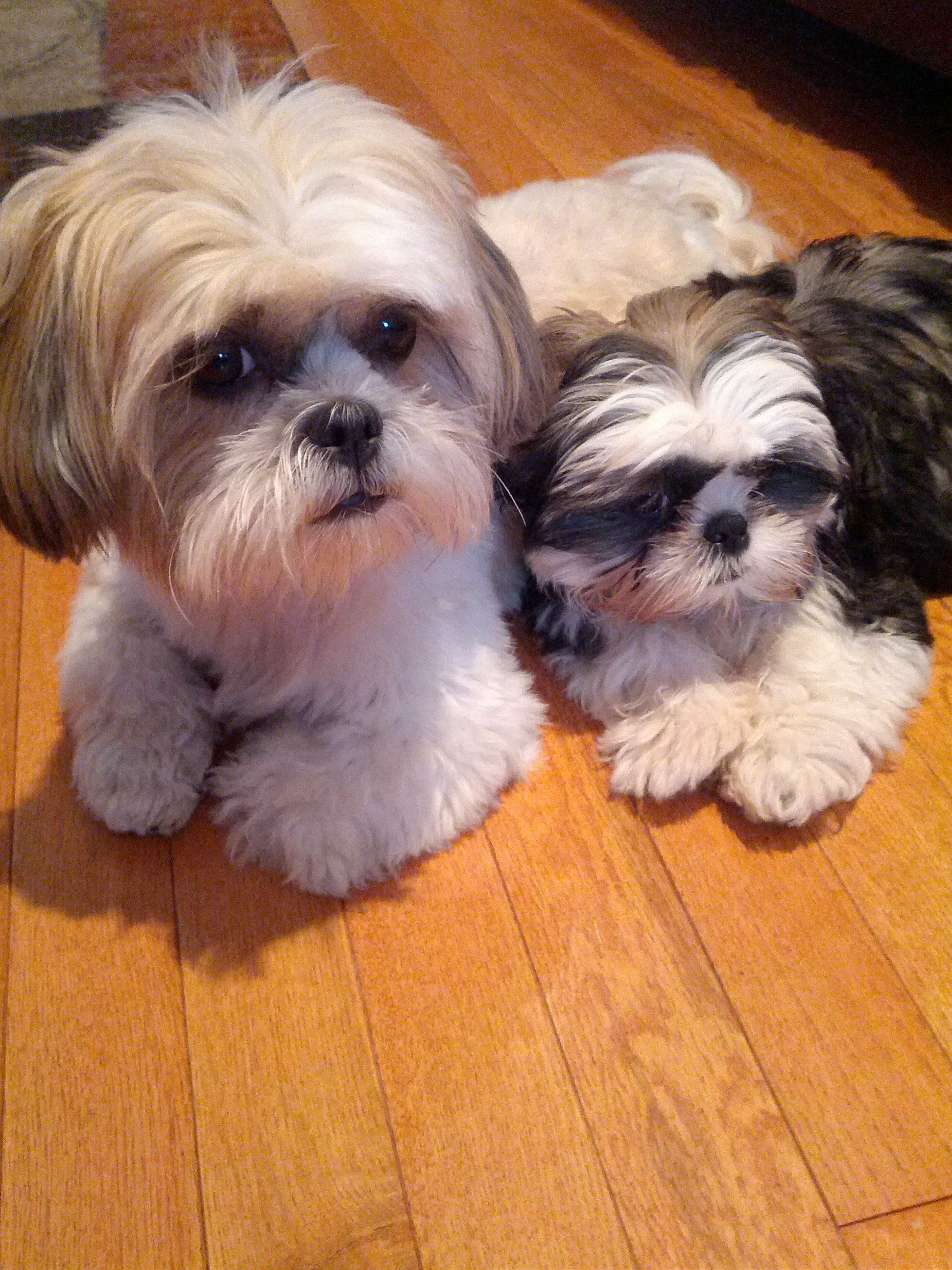 Look Like Gracie And Chewie Shihtzu Shih Tzu Dog Shih Tzu