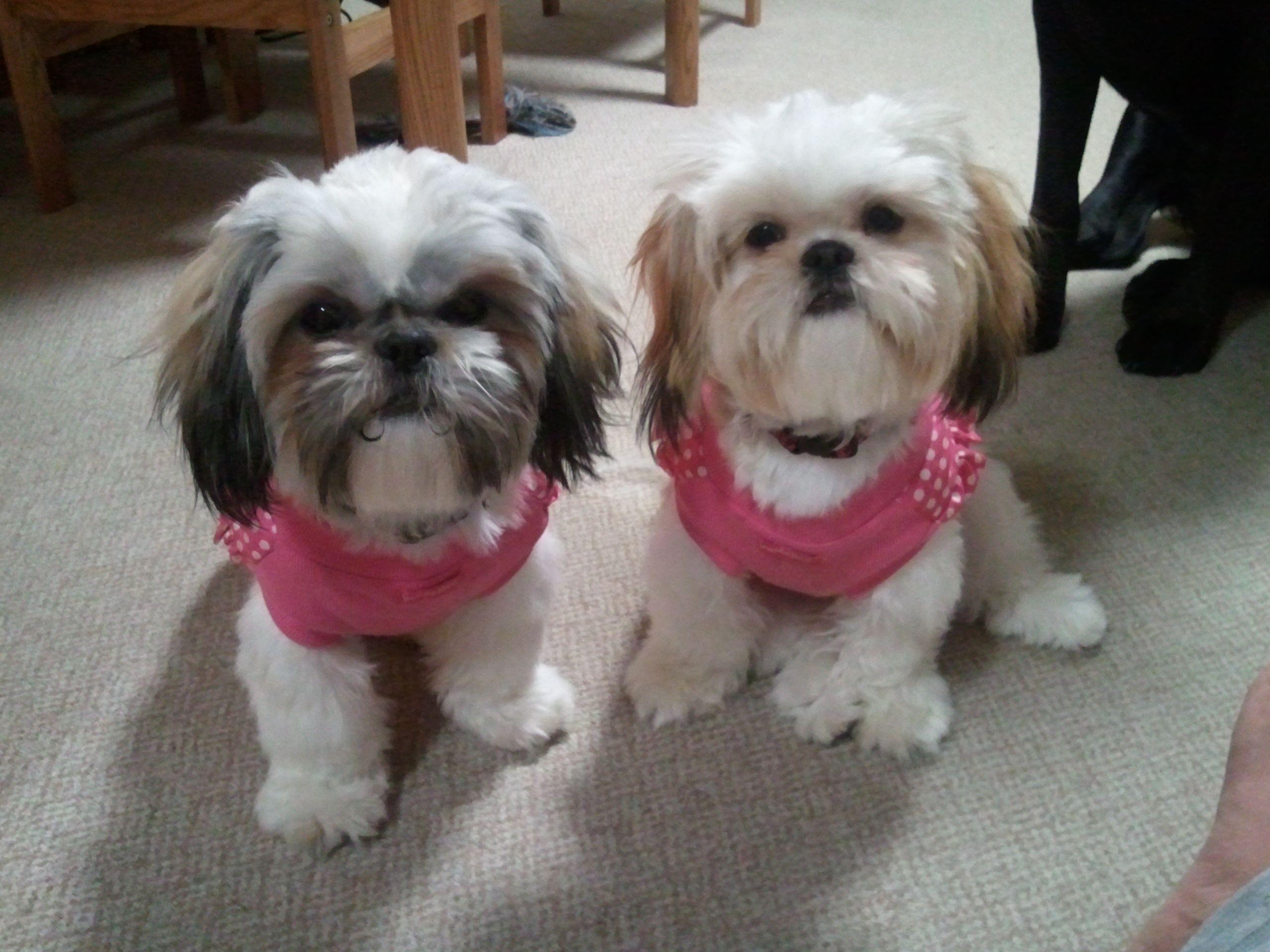 Love Our Jackets Teddy Bear Dog Shih Tzu Dog Cute Dogs