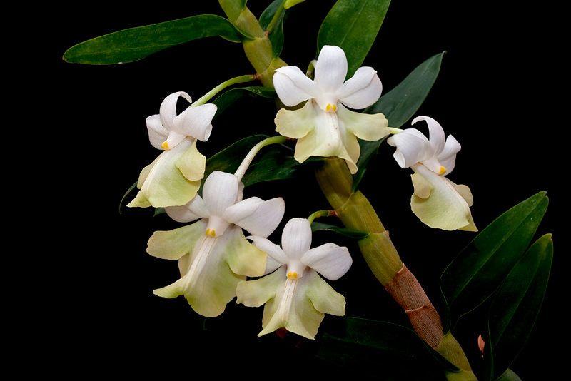 Dendrobium Austrocaledonicum Orchids Dendrobium Orchids Flowers