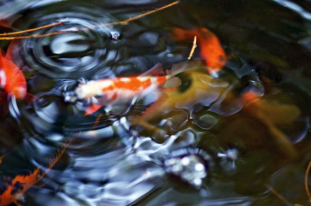 Goldfish swimming by K Hawkins Photography