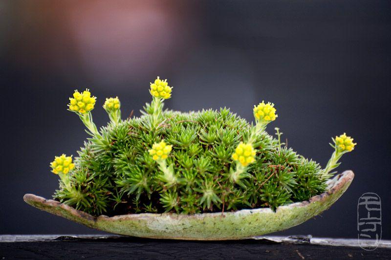 saxifraga juniperifola mame bonsai kusamono shitakusa pinterest minimalistischer. Black Bedroom Furniture Sets. Home Design Ideas