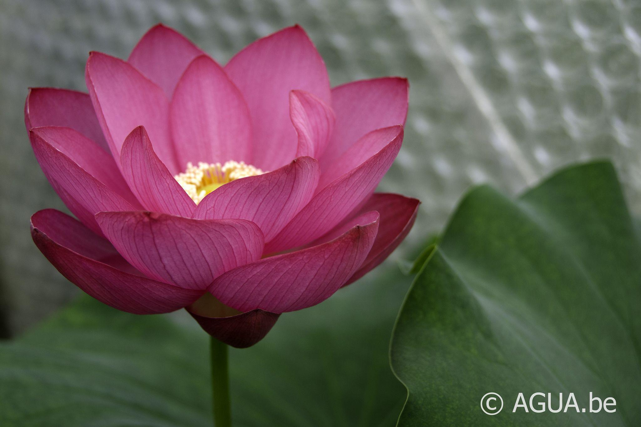 Dsc 0058 Flowers Plants Lotus
