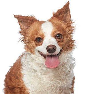 Los Angeles Ca Pembroke Welsh Corgi Mix Meet Cate A Dog For Adoption Http Www Adoptapet Com Welsh Corgi Pembroke Welsh Corgi