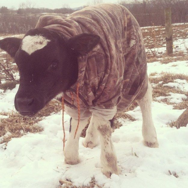 They wear the mantle of Style Expert with casual grace and subtlety. | 21 Reasons Cows Are Actually Awesome