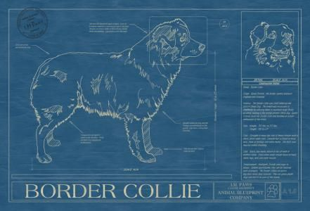 Border Collie Blueprint Australian Shepherd Collie Australian