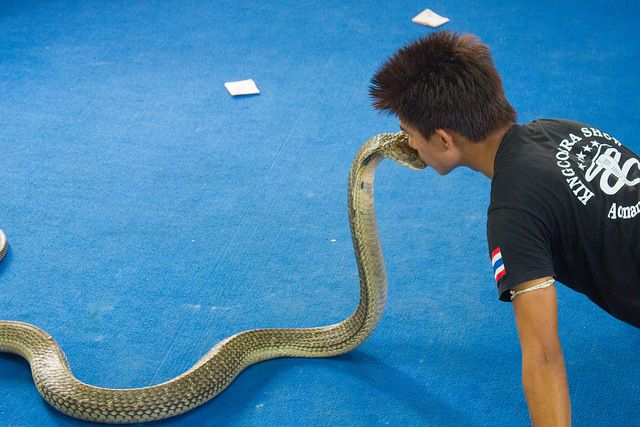 Kissing a King Cobra- 12 Facts about King Cobras - Fun Facts for ...