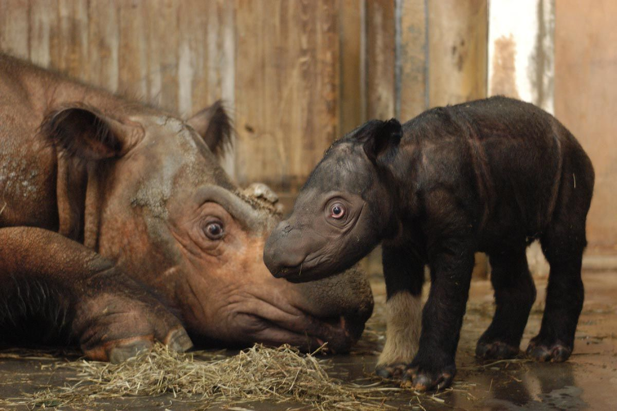 WWF-Indonesia has verified recent tracks and other evidence that show the Sumatran Rhino is not extinct in Borneo, as it has been feared for the last 20 years. There are only about 200 left in the entire world.