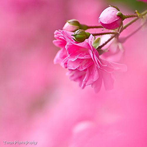 Pink Is Beautiful Flowers Flowers Photography Pink Flowers