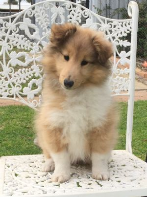 The Pure Breed Dogs Of Australia Pure Breed Dogs Shetland Sheepdog Shetland Sheepdog Blue Merle